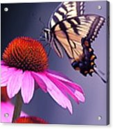 Swallowtail And Coneflower Acrylic Print