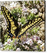 Swallowtail At Sand Wash Acrylic Print
