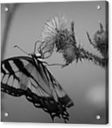 Swallowtail Black And White Acrylic Print