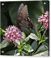 Swallowtail Buterfly Acrylic Print