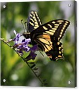 Swallowtail Butterfly 1 Acrylic Print