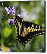 Swallowtail Butterfly 2 Acrylic Print