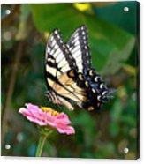 Swallowtail Butterfly 3 Acrylic Print