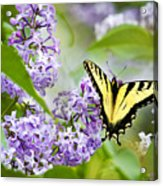 Swallowtail Butterfly On Lilacs Acrylic Print