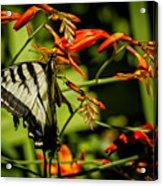 Swallowtail Hanging On The Crocosmia Acrylic Print