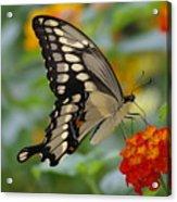 Swallowtail On A Lantana Acrylic Print