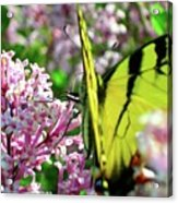 Swallowtail On Korean Lilac Florals Acrylic Print
