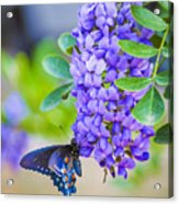 Swallowtail On Mountain Laurel Acrylic Print