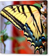 Swallowtail Wing Acrylic Print