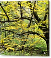 Swamp Birch In Autumn Acrylic Print