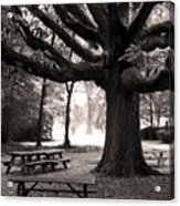 Swamp Chestnut Oak Tree-rosedale Plantation Acrylic Print