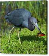 Swamp Hunter Acrylic Print
