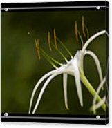 Swamp Lily Acrylic Print
