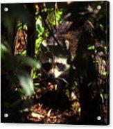 Swamp Raccoon Acrylic Print
