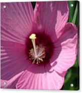 Swamp Rose Mallow Acrylic Print