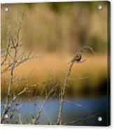 Swamp Sparrow Acrylic Print