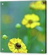 Swamp Sunflower Acrylic Print