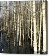 Swamp Trees Acrylic Print