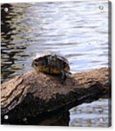 Swamp Turtle Acrylic Print
