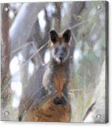 Swamp Wallaby Acrylic Print