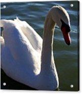Swan 000 Acrylic Print