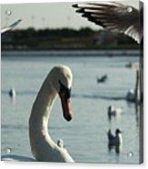 Swan And Gulls  Acrylic Print