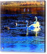 When It Seems Like The Swans Are Ruling The Sea  Acrylic Print by Hilde Widerberg