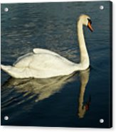 Swan Blasting Away Acrylic Print