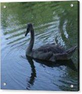 Swan Cygnet Acrylic Print