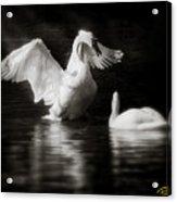 Swan Display Acrylic Print