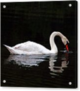 Swan Drinking Acrylic Print