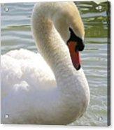 Swan Elegance Acrylic Print