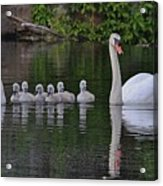 Swan Family Portrait Acrylic Print