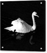 Swan In Blackwater Acrylic Print