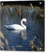 Swan In Blue Pond Acrylic Print