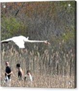 Swan In Flight Acrylic Print