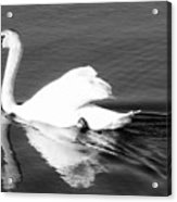 Swan In Motion On A Pond Acrylic Print