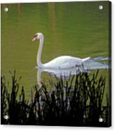 Swan In The Pond Acrylic Print