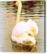 swan in the genus Cygnus Acrylic Print