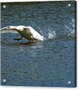 Swan Landing 2 Acrylic Print