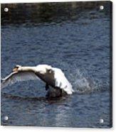 Swan Landing 3 Acrylic Print