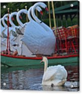 Swan Meeting Up With Some Friends Acrylic Print
