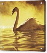 Swan On Gold Acrylic Print
