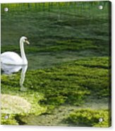 Swan On The River Lathkill Acrylic Print