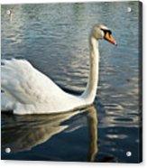 Swan On The Run Acrylic Print