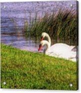 Swan Pair Warm Color Acrylic Print