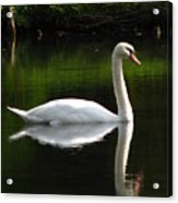 Swan Reflected Acrylic Print