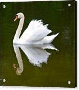 Swan Reflecting Acrylic Print