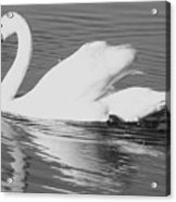Swan Reflection Acrylic Print