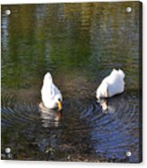 Swan Ripplle  Acrylic Print